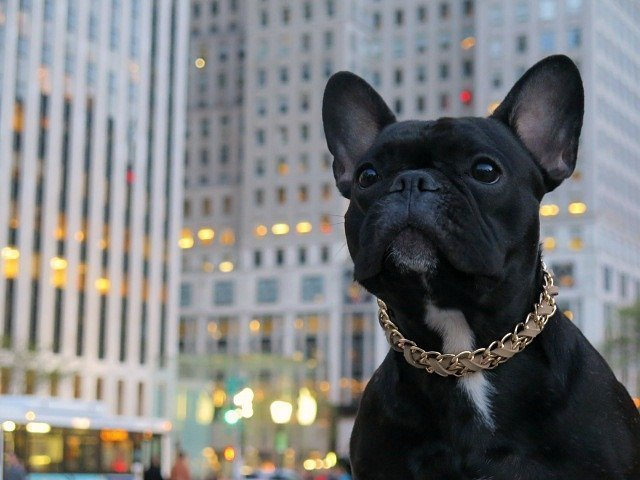 Frenchie NYC luxury dog necklace 5th avenue