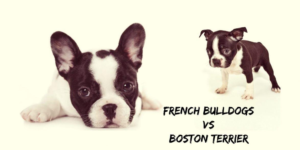 French Bulldog Vs Boston Terrier French Bullevard