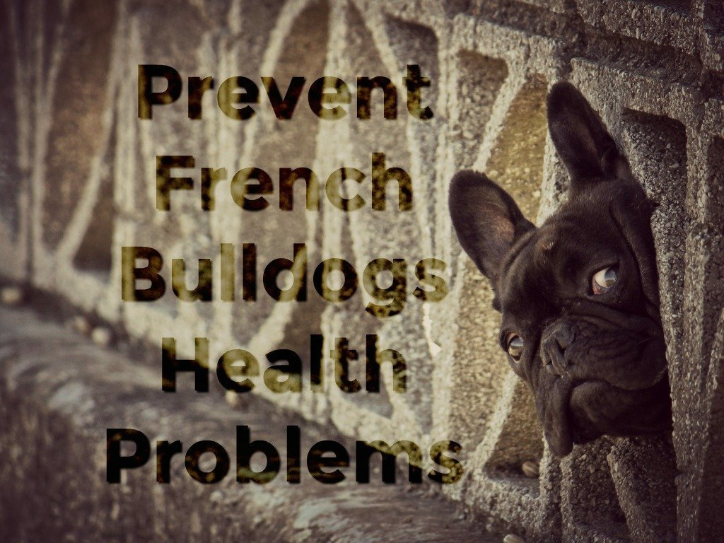 frenchie black french bulldog health problems