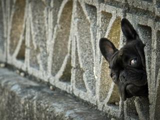 black frenchie head puppy
