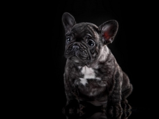 puppy black french bulldog newborn