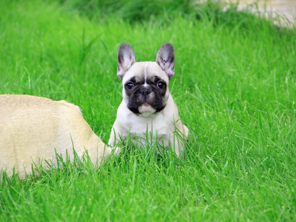 fawn french bulldog puppy