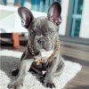 gold chain blue frenchie