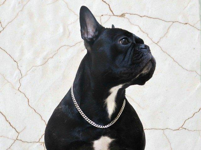 Silver Dog Chain
