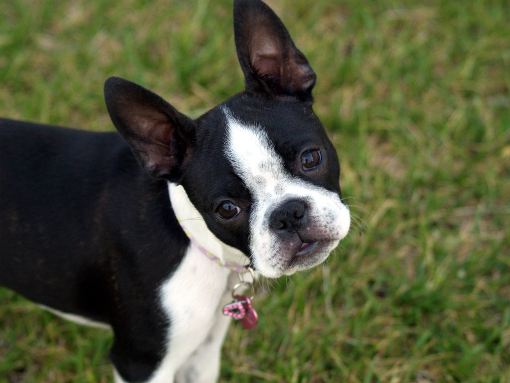 Frenchton Dog Black White