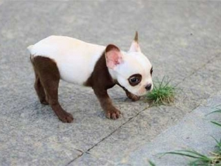 Brown & White Frenchie Puppy