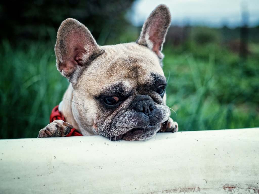 Understanding French Bulldogs Colors