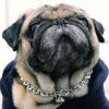 Pug Silver Dog Chain