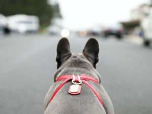 blue frenchie with red harness