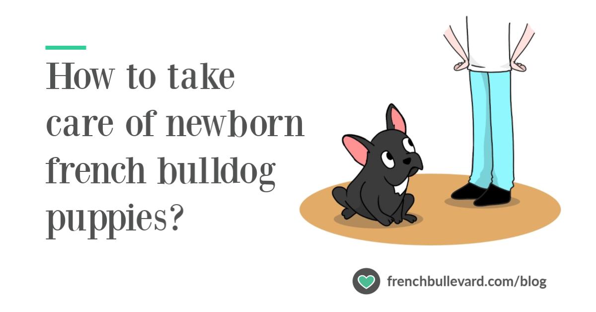 How To Take Care Of Newborn French Bulldog Puppies French Bulldog Care French Bullevard