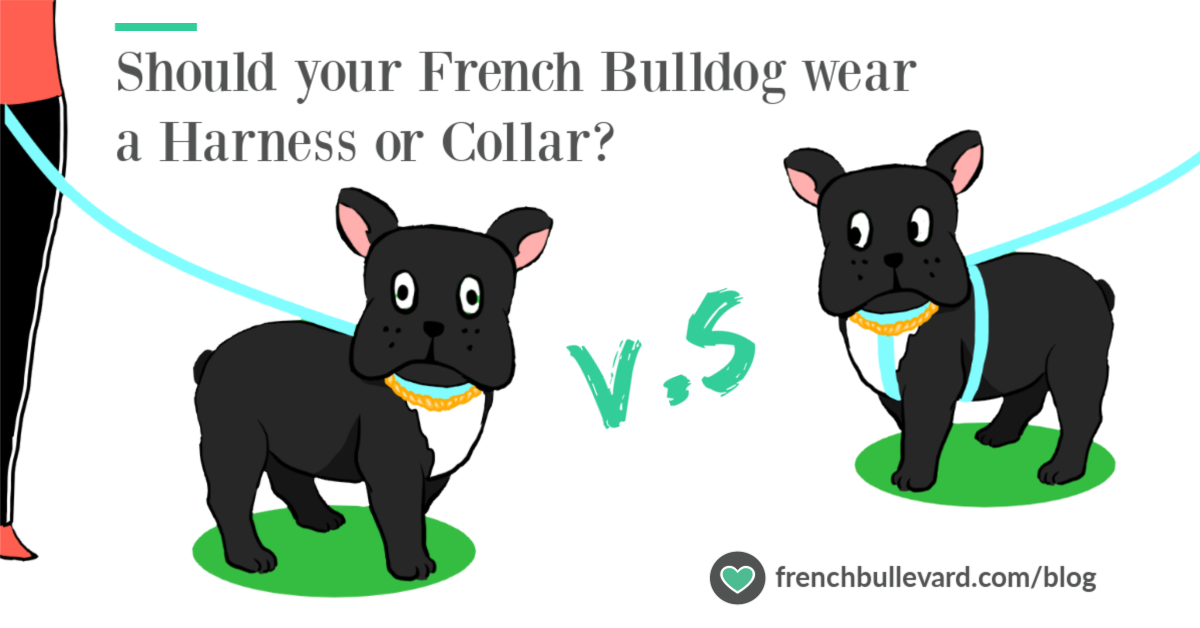 Collar or harness black frenchie french bulldog