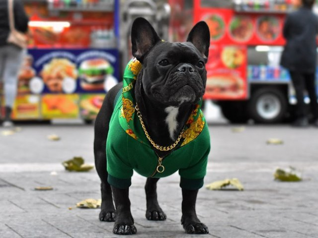 green frenchie hoodie