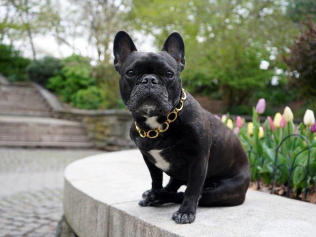 gold dog chain french bulldog