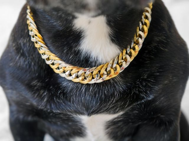 black frenchie wearing gold and silver chain